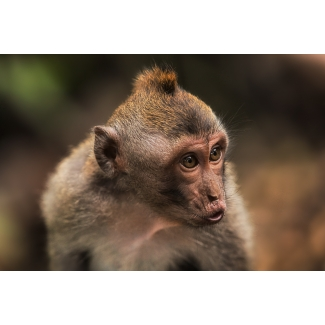 Photographie Monkey Forest, Bali
