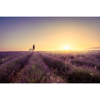 Photography lavender field in bloom at sunrise