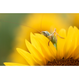 Photography Grasshopper in sunflowers